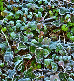 Frosty Leaves 1 Royalty Free Stock Photo