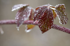Frosty leaves. Frostu red leaves and ice crystals Royalty Free Stock Photography