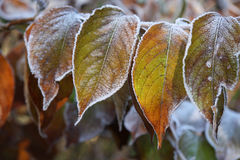 Frosty Leaves. Hoar frost covered leaves in winter Stock Photography