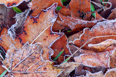Frosty leaves Royalty Free Stock Photos