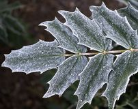 Frosty Leaves. Light frost on holly leaves Stock Photos