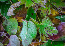 Frosty Leaves Royalty-vrije Stock Fotografie