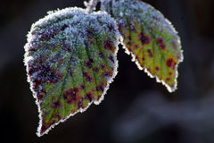 Frosty leaves. Frosty backlit leaves Stock Image