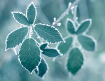 Frosty Leaves. + blue filter Stock Photography