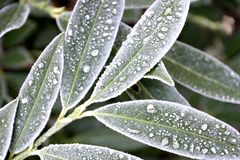 Frosty leaves. Frost on plant leaves Stock Photos