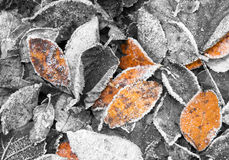 Frosty leaves. A photo of black and white and few orange or brown frosty leaves on the ground Stock Photo