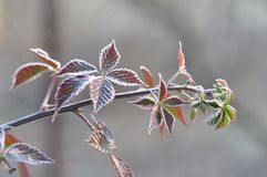 Frosty Leaves of Black berry royalty free stock images