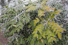 Frosty leaves and branches Stock Images