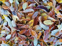 Frosty Leaves Royalty Free Stock Images