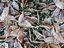 Frosty Leaves royalty free stock image