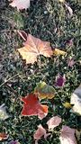 Frosty leaves. Early mirning frost on autumn leaves Royalty Free Stock Photography
