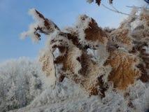 Frosty Leaves. Frozen oak leaves in the winter Stock Photos