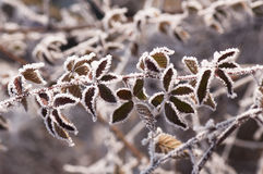 Frosty Leaves. Macro detail of frosty leaves in the winter season stock image