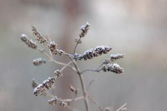 Frosty Leaves of Mint royalty free stock images