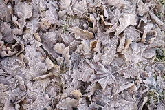 Frosty leaves. Royalty Free Stock Photo