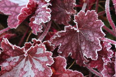 Frosty leaves. Frosty red heuchera leaves on cold winter morning royalty free stock photos