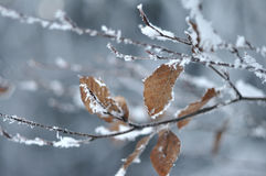 Frosty Leaves Stock Photography