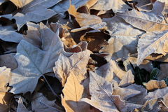 Frosty leaves. In winter stock photography