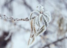 Frosty leaves. Winter background: leaves covered in hoarfrost Royalty Free Stock Photography