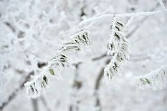 Frosty leaves in winter Stock Photography