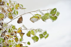 Frosty leaves in winter Stock Image