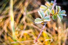 Frosty little leaves Royalty Free Stock Photos