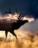 Frosty male bull elk. Male Elk with full set of antlers blows frosty breath in early morning autumn light in the North Carolina mountains Stock Images