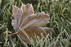 Frosty Maple Stock Photography