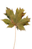 Frosty maple leaf. Isolated frost covered maple leaf Stock Photos