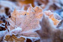 Frosty Maple Leaf. A fallen maple leaf covered in frost surrounded by other leaves Royalty Free Stock Images