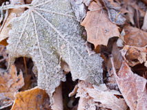 Frosty Maple Leaves Stock Photos