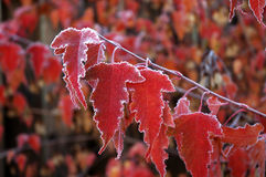 Frosty Maple Leaves. Red maple leaves covered in early morning frost Stock Photo