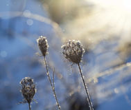 Frosty meadow flowers Royalty Free Stock Photos