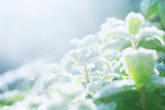 Frosty mint Stock Image