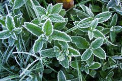 Frosty Morning. Photo of mint leaves on a frosty October morning Stock Image