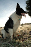 Frosty Morning. Working dog on cold morning Royalty Free Stock Images
