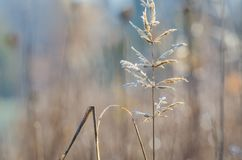 FROSTY MORNING. Autumn hoarfrost on dry grass Stock Photography