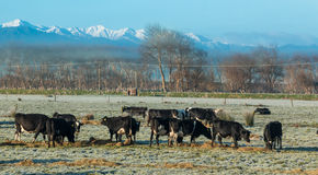 Frosty Morning cows Stock Photo