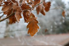 Frosty morning in the forest. The leaves are covered with frost.  stock photography