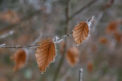 Frosty morning in the forest. The leaves are covered with frost.  royalty free stock photography