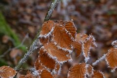 Frosty morning in the forest. The leaves are covered with frost.  royalty free stock image