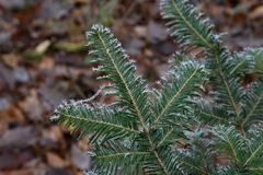 Frosty morning in the forest. Needles in the frost.  royalty free stock photography