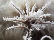 Frosty morning. Frost on a thistle head Royalty Free Stock Photography