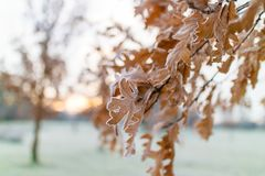 Frosty morning. Frozen oak leaves on a tree in a park in Manchester on a cold frosty Stock Image