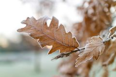 Frosty morning. Frozen oak leaves on a tree in a park in Manchester on a cold frosty royalty free stock images