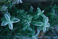 On a frosty morning, a mint in a frost taken from above. On a frosty morning, a mint in a frost taken from above royalty free stock photography