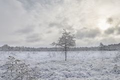 Frosty morning in raised bog. Landscape with the frozen plants. Latvia. Frosty morning in raised bog. Boardwalk in raised bog. Landscape with the frozen plants royalty free stock image