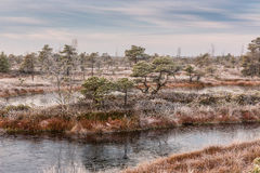 Frosty morning in raised bog. Landscape with the frozen plants and the hoar-frost. Kemeri National park in Latvia Royalty Free Stock Photos