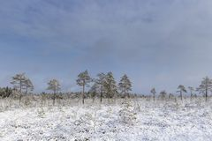 Frosty morning in raised bog. Landscape with the frozen plants. Latvia. Frosty morning in raised bog. Boardwalk in raised bog. Landscape with the frozen plants stock photo
