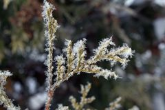 Macro snowflakes on golden larch. Frosty morning in a snowy garden, beautiful macro snowflakes on golden larch royalty free stock photo